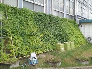 市役所職員ボランティアによる緑のカーテン