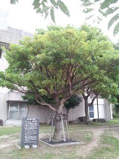 文化会館の記念の樹2